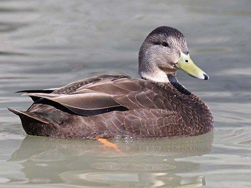 American Black Duck aspects