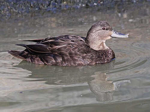 American Black Duck habitat