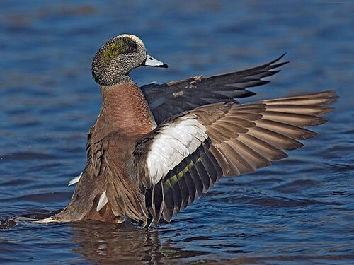 American Wigeon feathering