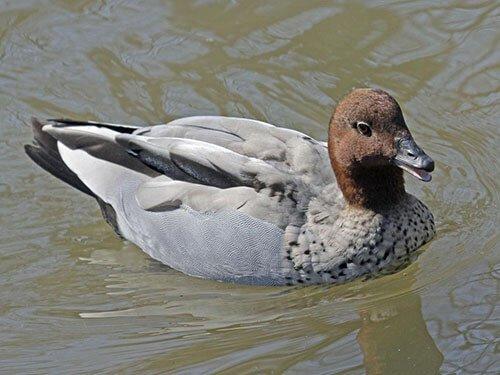 Australian Wood Duck aspects