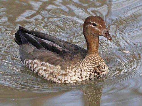 Australian Wood Duck closeup