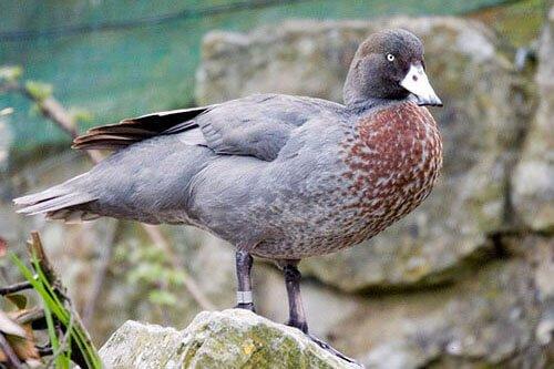 Blue Duck appearance