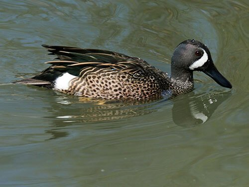 Blue-Winged Teal feathering