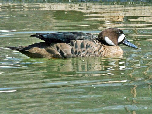 Bronze-Winged Duck aspects