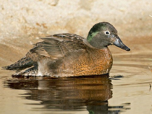 Campbell Island Teal aspects