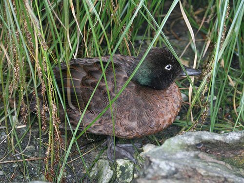 Campbell Island Teal feathering
