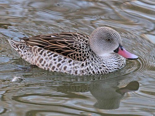 Cape Teal aspects
