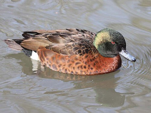 Chestnut Teal feathering