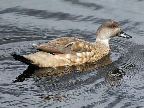 Crested Duck aspects
