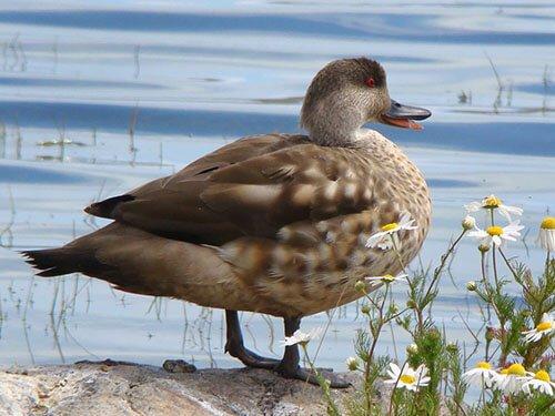 Crested Duck habitat