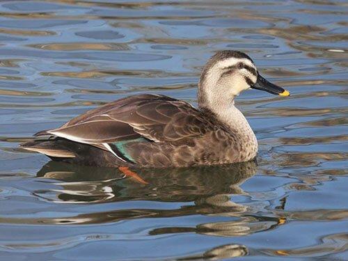 Eastern Spot-Billed Duck aspects