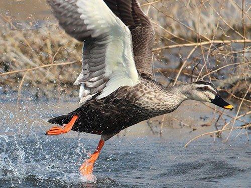 Eastern Spot-Billed Duck feathering
