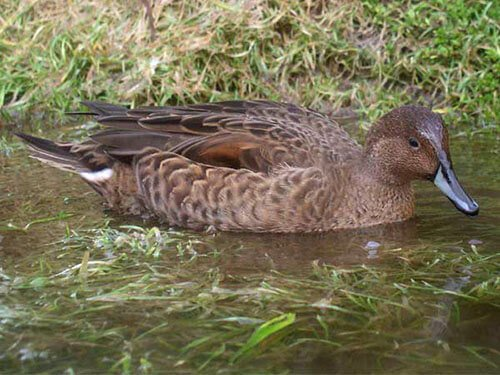 Eaton's Pintail aspects