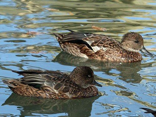 Falcated Duck habitat