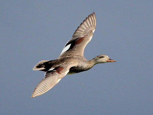 Gadwall feathering