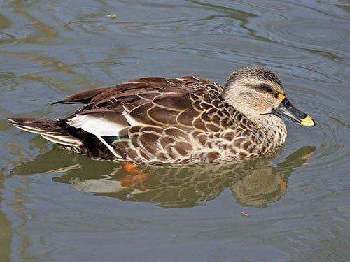 Indian Spot-Billed Duck aspects