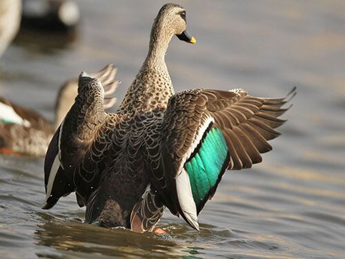 Indian Spot-Billed Duck feathering
