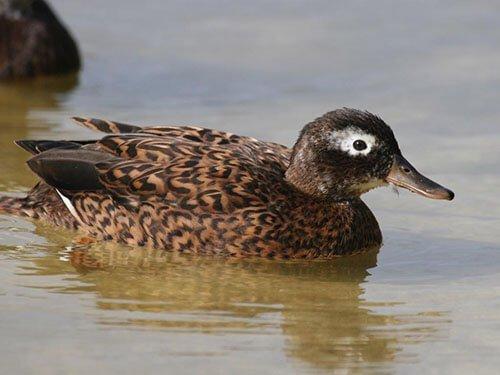 Laysan Duck aspects