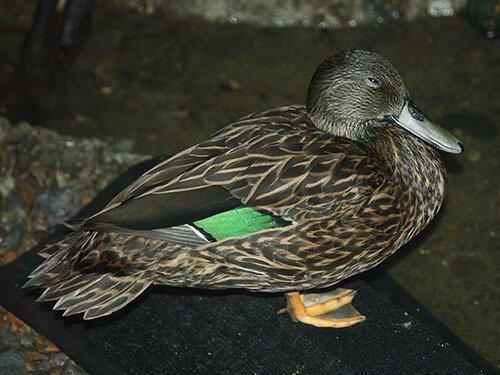 Meller's Duck habitat