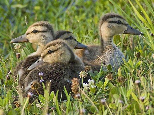 Mottled Duck habitat