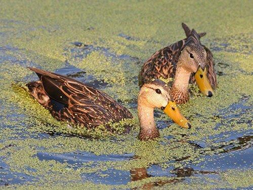 Mottled Duck range