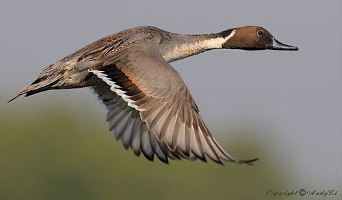 Northern Pintail feathering