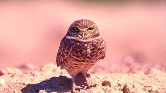 Owls of Florida