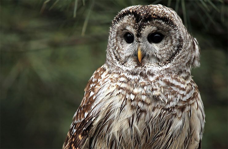 Owls of Virginia