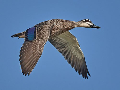 Pacific Black Duck feathering