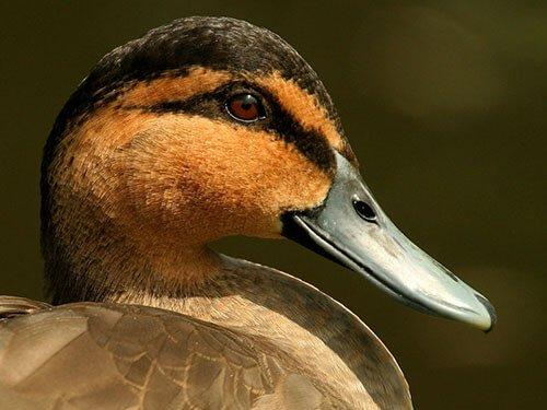 Philippine Duck closeup