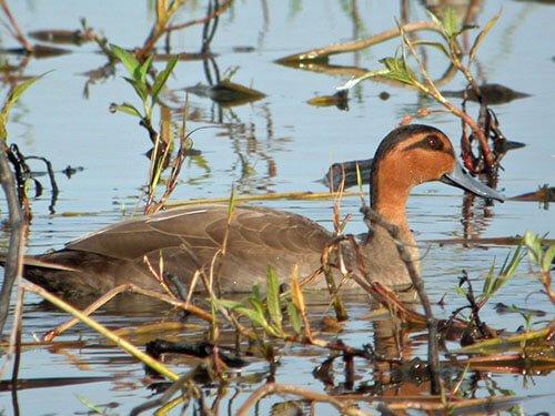 Philippine Duck habitat