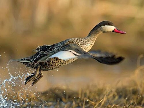 Red-Billed Teal aspects