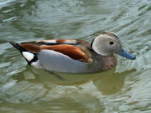 Ringed Teal aspects