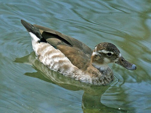 Ringed Teal feathering