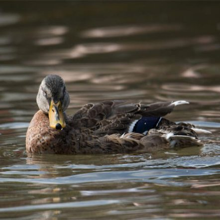 Waterfowl Anseriformes family birds