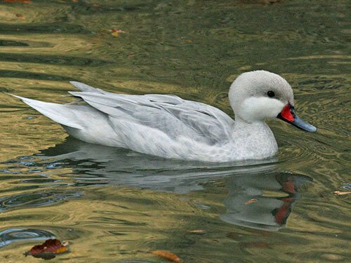 White-Cheeked Pintail aspects
