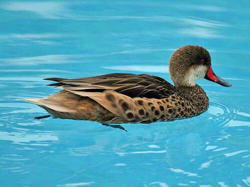 White-Cheeked Pintail feathering