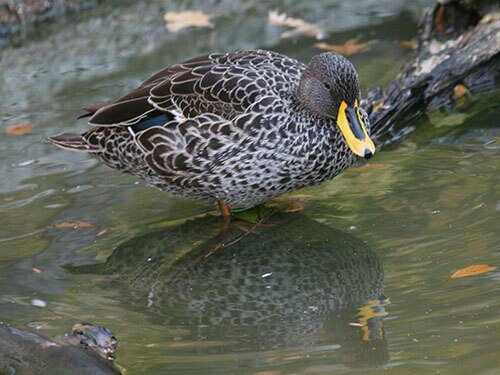 Yellow-Billed Duck feathering
