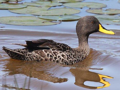 Yellow-Billed Duck habitat