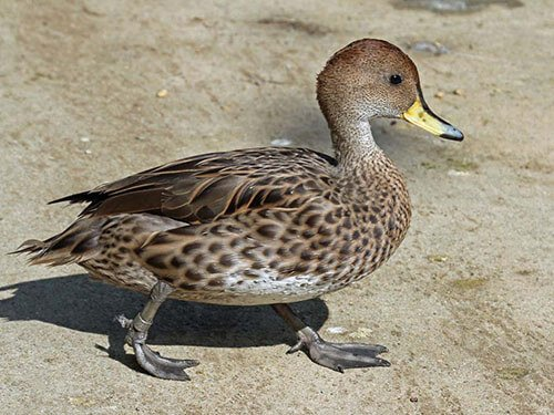 Yellow-Billed Pintail aspects