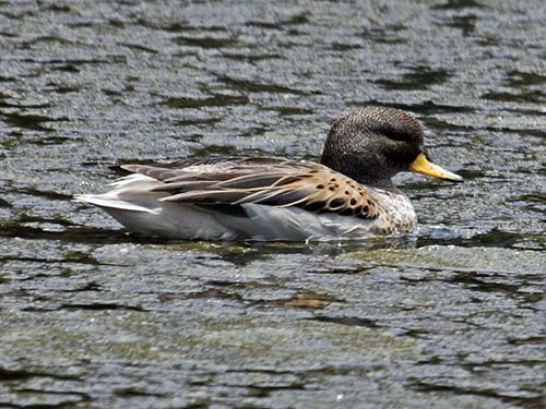 Yellow-Billed Teal aspects
