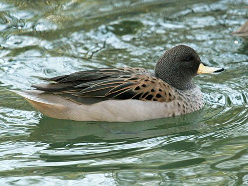 Yellow-Billed Teal feathering