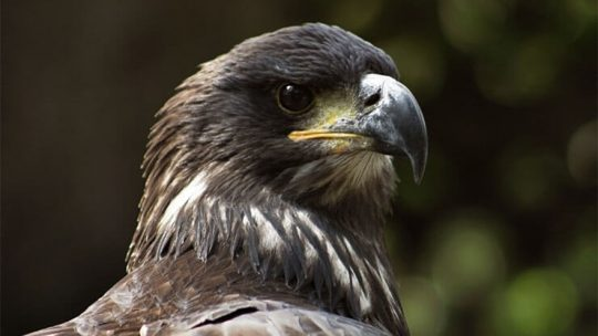 Eagles of Florida
