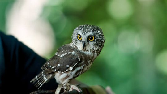 Owls of Maryland