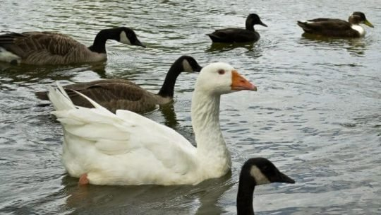 duck vs goose difference